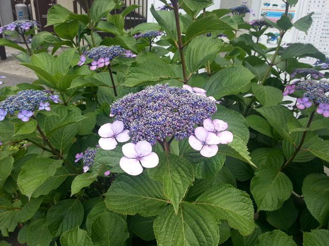 近所で咲いていた紫陽花(2)