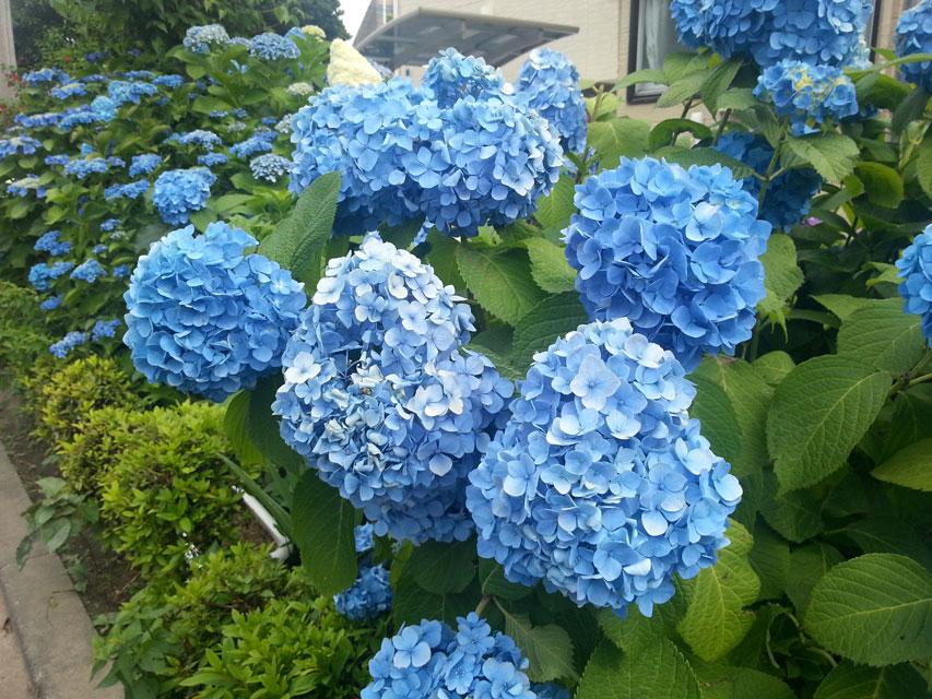 近所で咲いていた紫陽花(3)