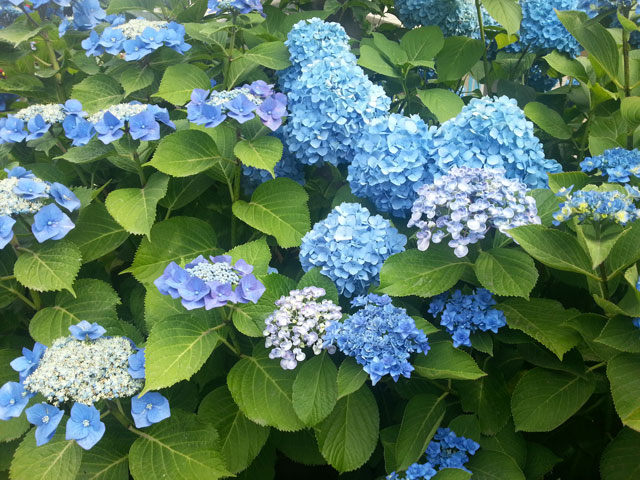 近所で咲いていた紫陽花(4)