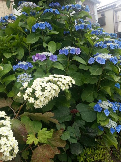 近所で咲いていた紫陽花(5)