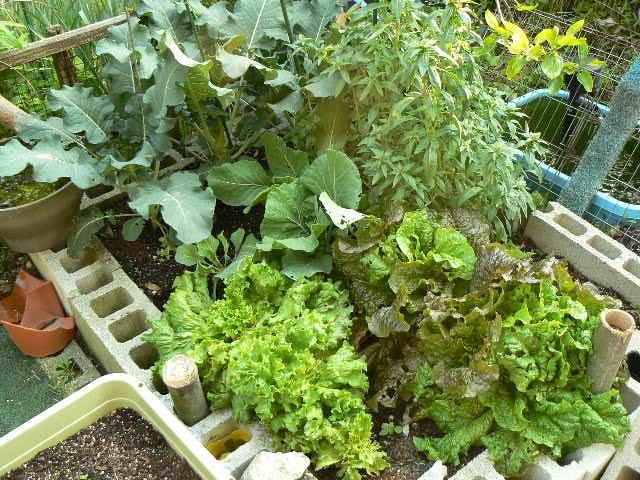 庭の野菜の写真