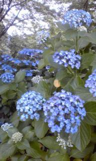 紫陽花写真2