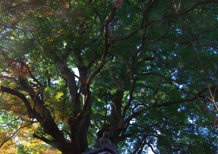 14-11-25-6くすのき-樹齢400年幹回り3.4M高さ20M