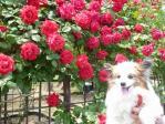 ぴーと赤いバラ