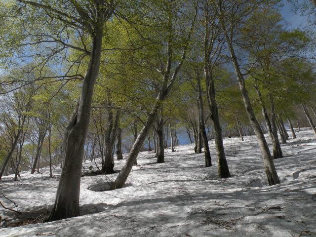 06 素晴らしい残雪と新緑のブナ林