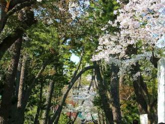 13-3-28 桜3
