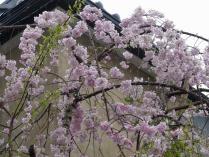 13-4-2 桜1