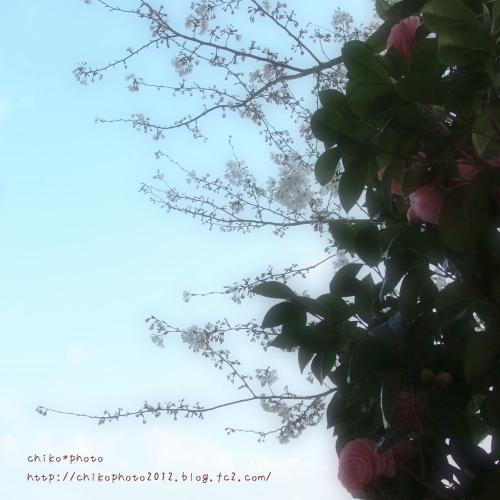 photo-311 桜と椿