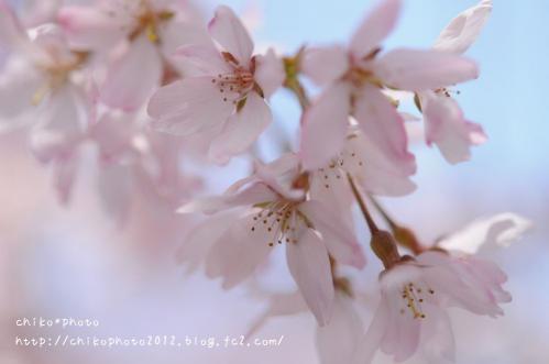 photo-318 2013 さくら1_1