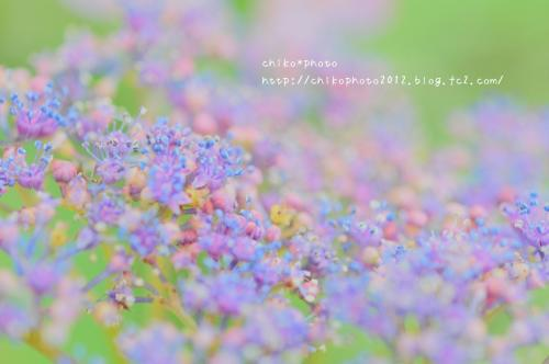 photo-303 ふんわりアジサイ1_1(0626)