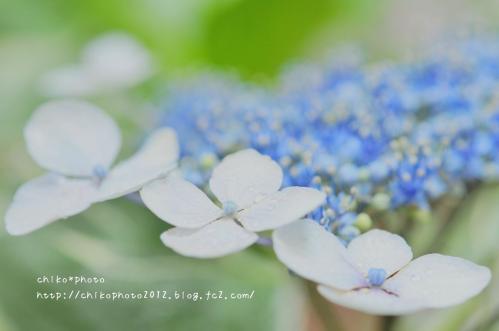 photo-304 ふんわりアジサイ2_1(0627)