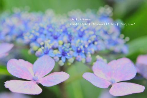 photo-304 ふんわりアジサイ2_2(0627)