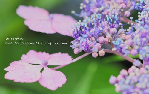 photo-305_アジサイの蕾と開花(0628)