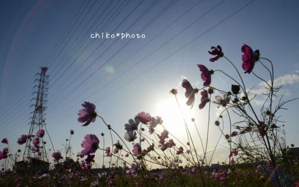 photo-355 鉄塔とコスモス1