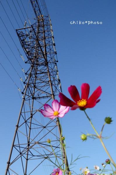 photo356 鉄塔とコスモス2