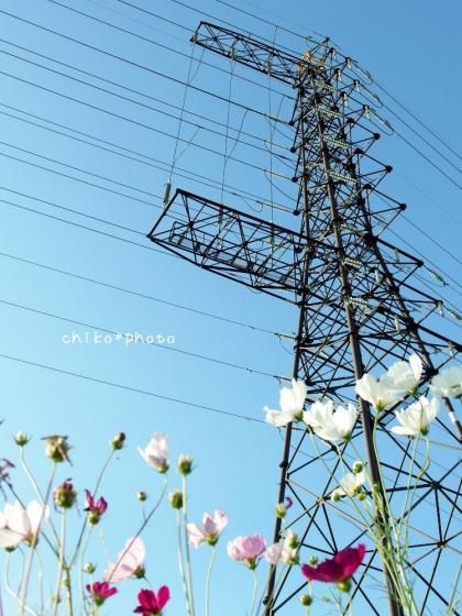 photo358 鉄塔とコスモス4