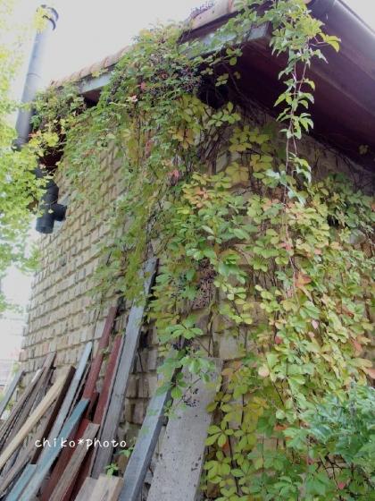photo-367 アートな壁蔦