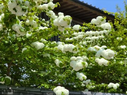 20白い球紫陽花