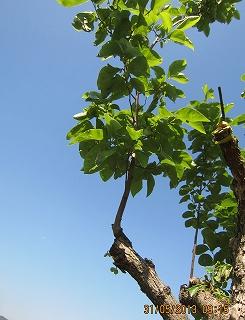 はら柿の接木