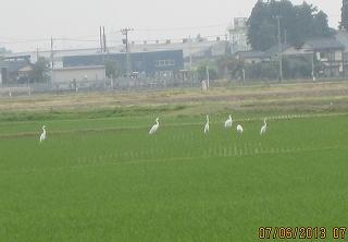 白鷺の一群