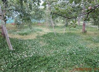 りんご園の下草