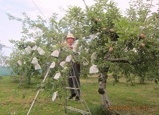 リンゴの袋かけ