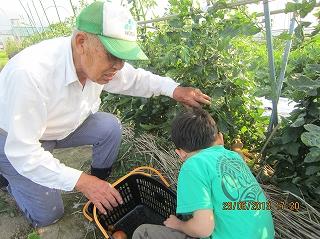 トマト摘み採用
