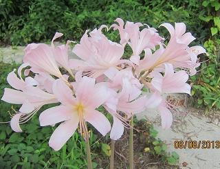 夏水仙盛花