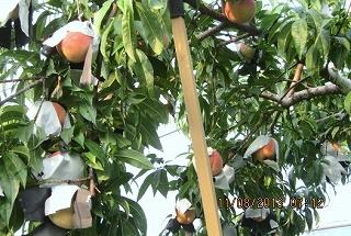 桃の色づき具合