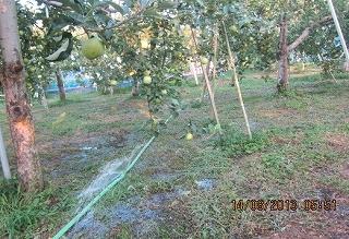 りんご園潅水