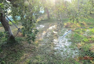 リンゴ潅水採用
