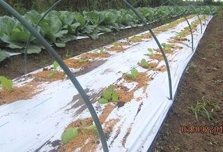 白菜定植・1
