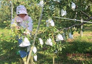 洋梨の摘み取り