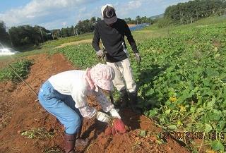 芋掘り採用・1