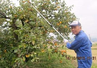 柿の収穫・1