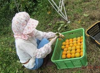 柿の収穫・2
