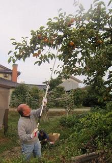 森先生柿摘み取り
