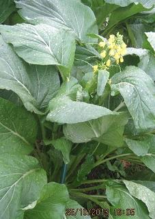 オータムポェームの花