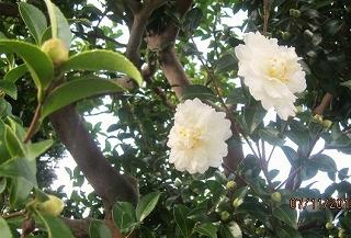 白山茶花咲く