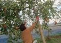 M田さんりんご摘み