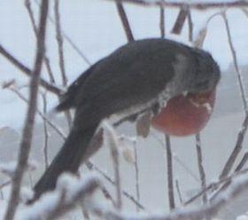 007りんご食べ