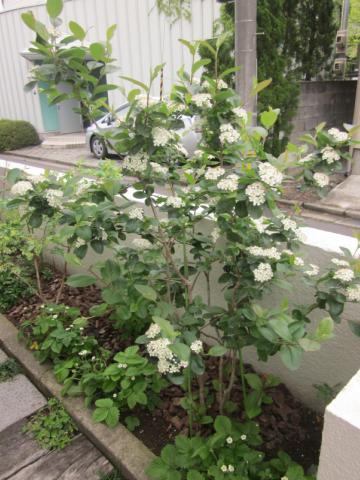 満開!チョコベリー・アロニアの花が咲きました 猫と園芸