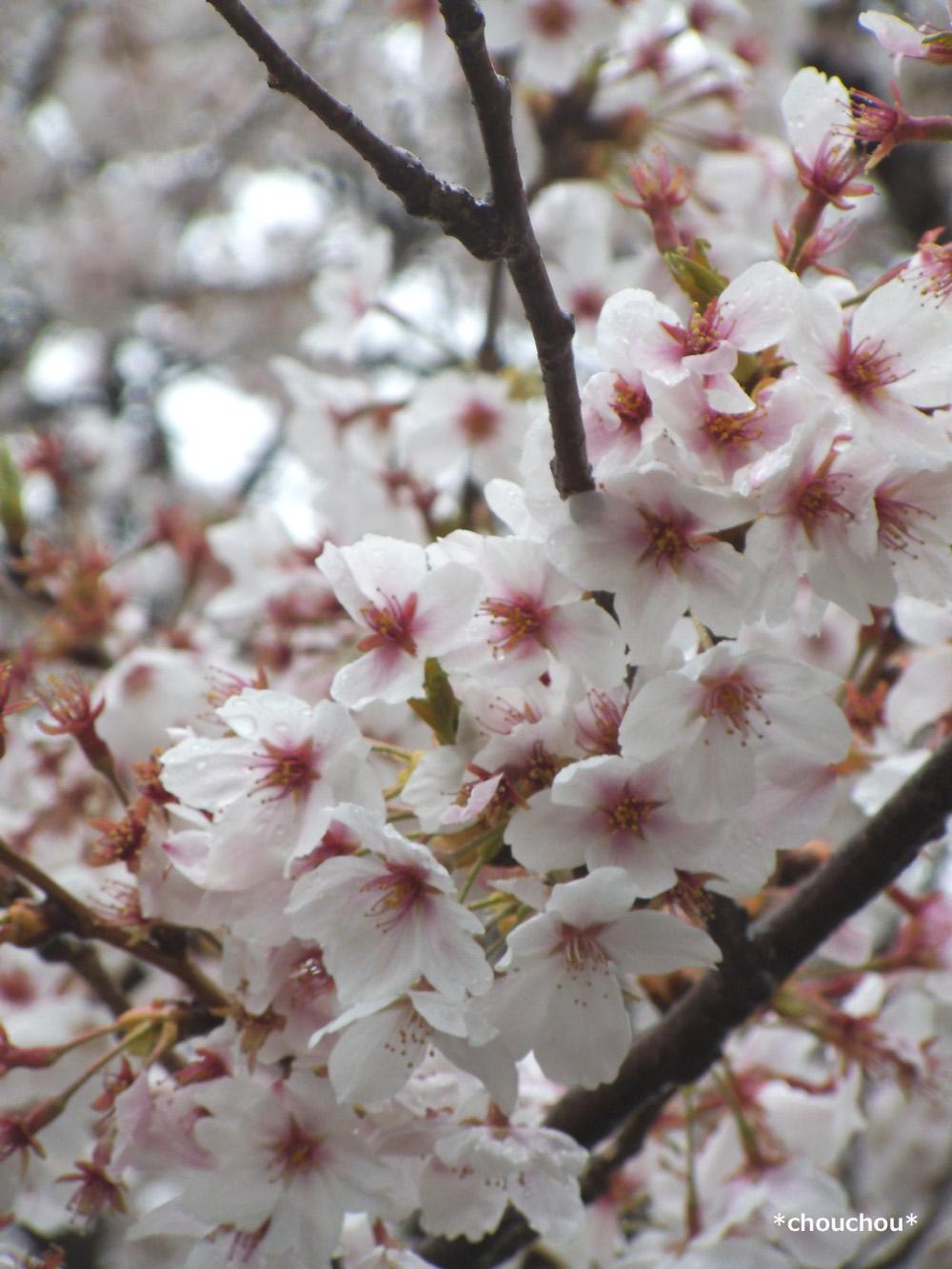 石和温泉 桜