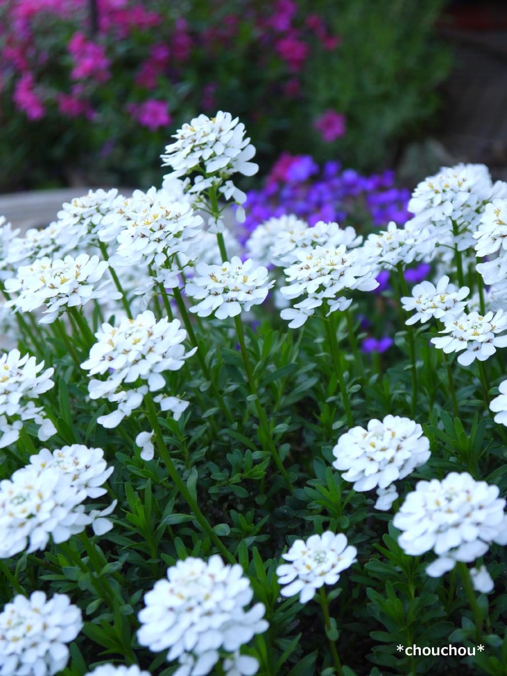春の花 白