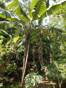 banana_convert_20140208224013.jpg