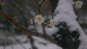 雪の日 凍る湯島の白梅