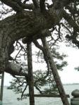 松の木ばかり
