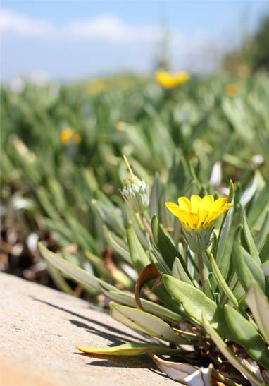 天草の黄色い花