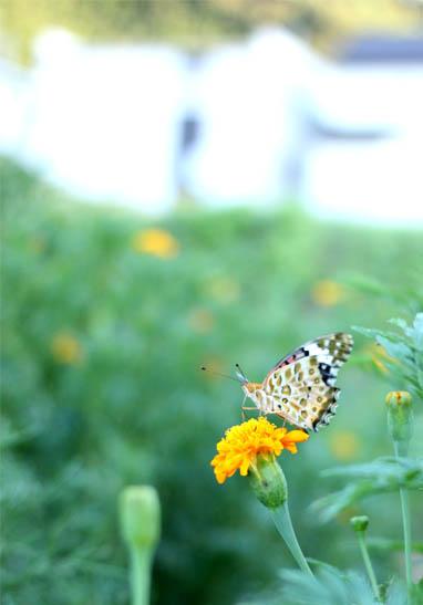 マリーゴールドと蝶