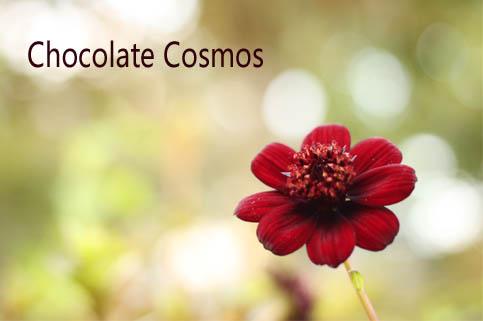 チョコレートコスモス